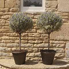Pair of Standard Lavenders