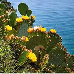 Prickly Pear - Opuntia vulgaris