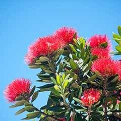 New Zealand Christmas Tree 'Metrosideros excelsa'