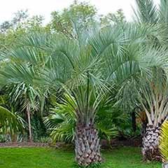 Butia capitata (Jelly Palm)