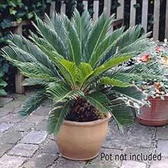 Cycas revoluta Sago Palm