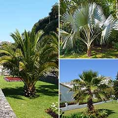 Patio Palm Collection