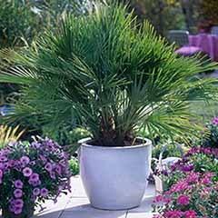 Chamaerops Humilis Fan Palm