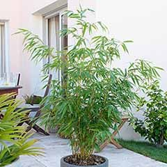 Fargesia 'Blue Dragon' Umbrella Bamboo