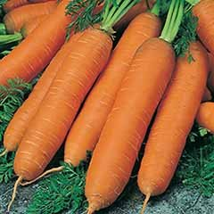 Carrot Flyaway F1 packet of seed