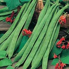 Runner Bean 'Polestar' (Stringless) Seeds