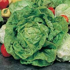 Lettuce 'All The Year Round' Seeds
