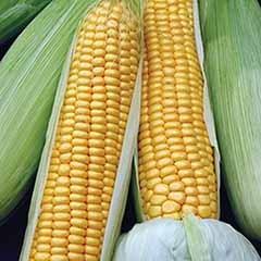 Sweet Corn Swift F1 Seeds