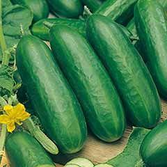 Cucumber Socrates F1 Seeds