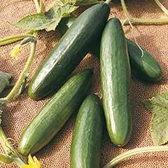 Cucumber La Diva Seeds