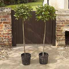 Pair of 1.2M Tall Standard Bay Trees