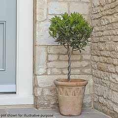 Pair of Plaited Mini Standard Bay Trees