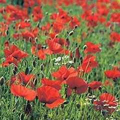 Wildflower Poppy Papaver rhoeas Seeds
