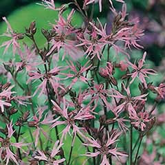 Wildflower Ragged Robin Lychnis flos-cuculi Seeds