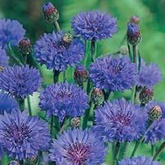 Wildflower Cornflower Centaurea cyanus 'Blue Ball' Seeds