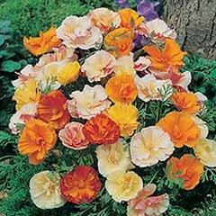 Californian Poppy 'Monarch Art Shades' Seeds