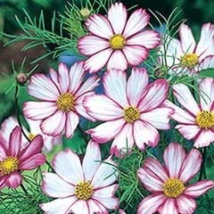 Cosmos 'Candy Stripe' Seeds