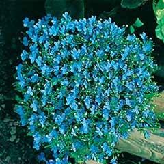 Lobelia 'Cambridge Blue' Seeds