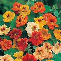 Nasturtium 'Jewel Mixed' Seeds