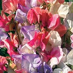 Sweet Pea 'Incense Mixed' Seeds