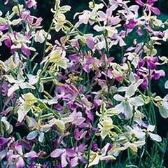 Stock Night-Scented 'Starlight Scentsation' Seeds