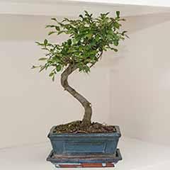 S Shaped Bonsai Tree With Ceramic Pot