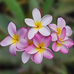 Plumeria 'Divine' pink 14cm pot - Frangipani