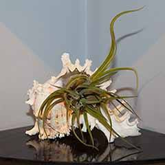 Giant Murex Shell Air Plant Kit