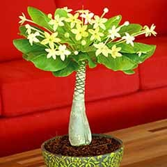 Brighamia Insignis - 'The Hawaiian Palm'