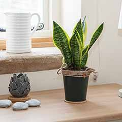 Sansevieria Snake Plant in 13cm warm zinc pot