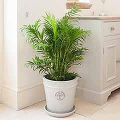 Areca palm 24cm pot 1.2m tall
