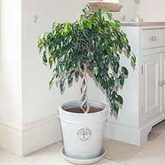 Double Spiral Ficus benjamina 'Danielle' Ornamental Spiral Fig
