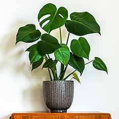 Monstera deliciosa 'Swiss Cheese Plant'