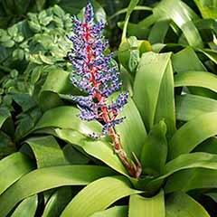 Bromeliad Aechmea 'Blue Rain'
