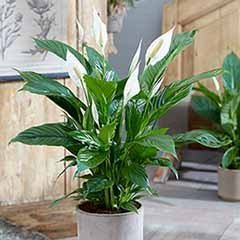 Peace Lily Spathiphyllum 'Sweet Silver'