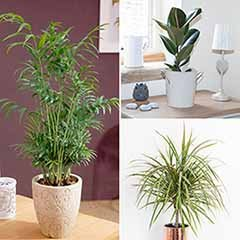 Houseplant Mix 3 Plants