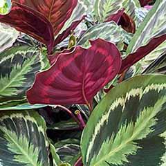 Prayer Plant Calathea 'Medallion' 21cm