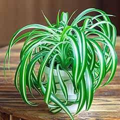 Chlorophytum Comosum Varigated