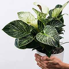 Philodendron White Wave 14cm