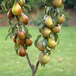 Duo Fruit Tree - Pear Conference & Concorde