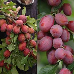 Duo Fruit tree - Plum Victoria & Czar