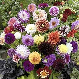 Mixed Dahlias - Hybridisers Mix