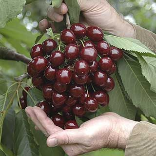 Pair of Sweet Cherry 'Stella' Tree