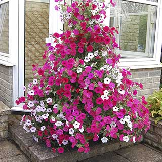 Tower Pot with Climbing Petunia Plants