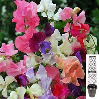 Tower Pot with 24 Climbng Sweet Pea plants