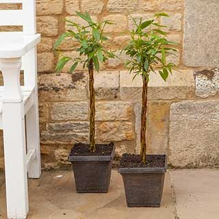 Pair ofPlaited Willows 50cm Tall in Decorative Pots