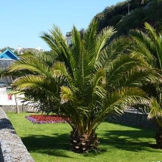 Pair Phoenix Palms Plus Pots
