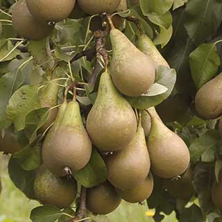 'Conference' Pear Tree