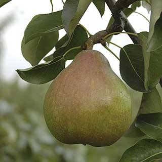 Pear 'Doyenne du Comice' Tree