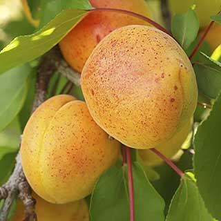 Apricot 'Early Moorpark' Tree
